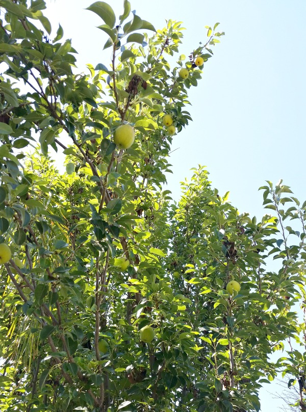 Pear tree in the backyard