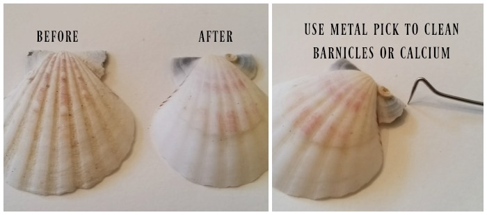Before and After Cleaning Sea Shell