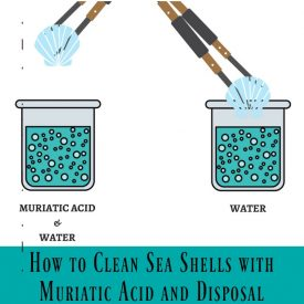 How to Clean Sea Shells with Muriatic Acid Solution and Disposal