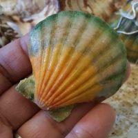 DIY Painted Sea Shells - Imitation Hawaii Sunrise Shells