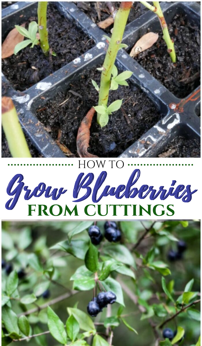 How to grow blueberries from cuttings